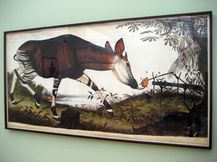lebt das okapi einzeln oder zusammen
